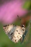 Boeticus de Lampides Imagem de Stock Royalty Free
