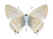Boeticus Lampides бабочки (женское) (нижняя сторона) Стоковое Изображение RF