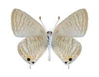 Boeticus Lampides бабочки (мужчина) (нижняя сторона) Стоковая Фотография RF