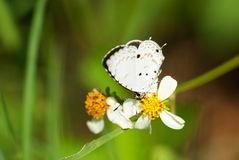boeticuslampides Royaltyfri Fotografi