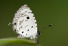 boeticuslampides Royaltyfria Foton