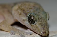 Boettger`s wall gecko royalty free stock images