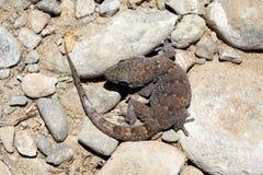 Boettger's Wall Gecko - Tarantola boettgen Royalty Free Stock Photography