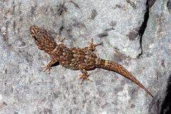 Boettger's Wall Gecko - Tarantola boettgen Stock Photography