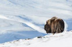 Boeuf de musc en hiver, Norvège photo stock
