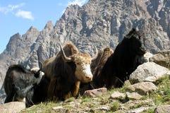 Boeufs et vache Photos libres de droits