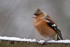 Bofink i snön Arkivfoto