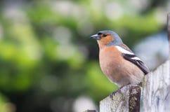 Bofink på ett staket Royaltyfri Foto
