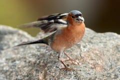 Bofinken i trevligt poserar - ståenden Royaltyfri Foto