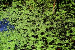 Bog. Background of bog with duckweed texture Stock Photo