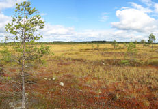 Bog. In Finland. Low nutrient  has mainly stunted trees and moss royalty free stock images