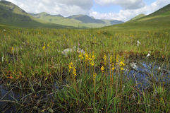 Bog Asphodel in Glen Shiel. Bog Asphodel - Narthecium ossifragum, in highland habitat Glen Shiel stock images