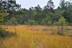 Bog in autumn in the forest. Non-coloring grass and pines growing on the forests of Western Pomerania royalty free stock photo