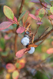 Bog Bilberry in Autumn. A close up of a Bog Bilberry (Vaccinium uliginosum) in autumn colors. Bog Bilberries contain high amounts of Vitamin C. Selective focus Royalty Free Stock Images