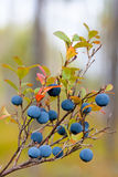 Bog bilberry Royalty Free Stock Photography