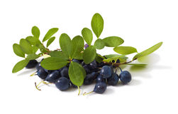 Bog bilberry. With leaves on a white background ( Vaccinium uliginosum Royalty Free Stock Images