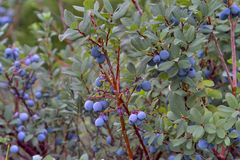 Bog Bilberry, Northern Bilberry, Vaccinium uliginosum, fruits in summer. Northern Bilberry belongs to the blueberry genus and contains psychotropic substances royalty free stock photography