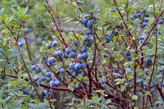 Bog Bilberry, Northern Bilberry, Vaccinium uliginosum, fruits in summer. Northern Bilberry belongs to the blueberry genus and contains psychotropic substances royalty free stock image