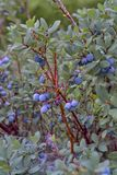 Bog Bilberry, Northern Bilberry, Vaccinium uliginosum, fruits in summer. Northern Bilberry belongs to the blueberry genus and contains psychotropic substances stock photography