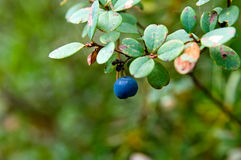 A Bog Bilberry Royalty Free Stock Photo