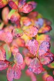 Bog bilberry leaves in autumn colors. Bog bilberry Vaccinium uliginosum leaves in autumn colors. Selective focus and shallow depth of field stock image