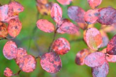 Bog bilberry leaves in autumn colors. Bog bilberry Vaccinium uliginosum leaves in autumn colors. Selective focus and shallow depth of field stock photo