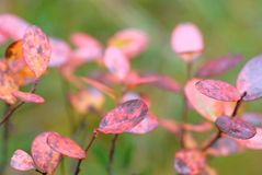 Bog bilberry leaves in autumn colors. Bog bilberry Vaccinium uliginosum leaves in autumn colors. Selective focus and shallow depth of field royalty free stock images