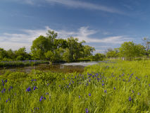 Bog with blossoming coast Royalty Free Stock Image
