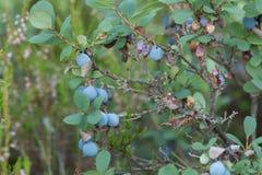 Bog blueberries, Vaccinium uliginosum. Closeup of Bog blueberries, Vaccinium uliginosum stock image