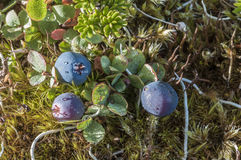 Bog blueberry Stock Photos