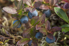 Bog blueberry royalty free stock images