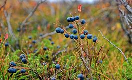 Bog blueberry Vaccinium uliginosum is native to cool temperate regions of the Northern Hemisphere. At low altitudes in the Arctic, on heathland, moorland stock photo