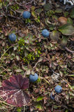 Bog blueberry royalty free stock photo
