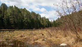 Bog coming to life on a spring day in Muskoka. A bog in Algonquin PArk with golden grasses in front of a background of evergreens under a beautiful spring sky stock photos
