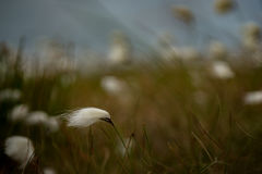 Bog cotton on Achill island, Co. Mayo. Bog cotton on Achill island, Co. Mayo, Ireland stock image