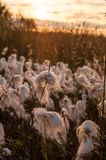 Bog cotton sunset Stock Photography