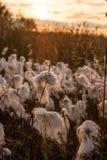 Bog cotton sunset Stock Photography