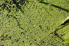 Bog covered with green ooze. Texture of green swamp ooze with insect. Green swamp mud with insect and grass stock image