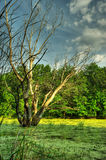 Bog and dry tree Stock Images