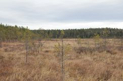 Bog in Finland. Cloudy sky. Fall. Young pine trees growing in a Finnish bog during Autumn/Fall. In this photograph the beautiful cloudy sky and the light brown royalty free stock photography