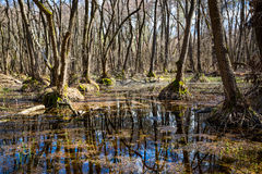 Bog in foresr. Spring day on bog in forest stock photo