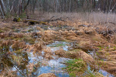 Bog in forest Royalty Free Stock Photo