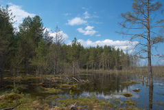Bog and forest Stock Photography