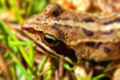 Bog frog - Rana arvalis Royalty Free Stock Photography