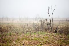 Bog landscape with fog Royalty Free Stock Image