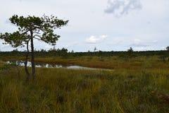 Bog in the landscape of Kemeri National Park, in autumn, selective focus. Latvia.  stock photos