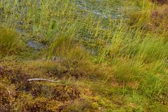 Bog in the landscape of Kemeri National Park, in autumn, selective focus. Latvia.  royalty free stock photography