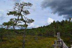 Bog in the landscape of Kemeri National Park, in autumn, selective focus. Latvia.  stock image