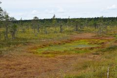 Bog in the landscape of Kemeri National Park, in autumn, selective focus. Latvia.  royalty free stock images