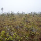 Bog landscape with trees in swamp Royalty Free Stock Photo